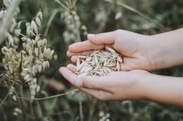 ВПсковской области уже намолочено в 3 раза больше зерна, чем в прошлом году