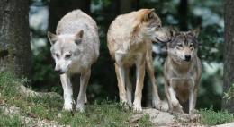Защитить людей от волков просят жители поселка Усвяты