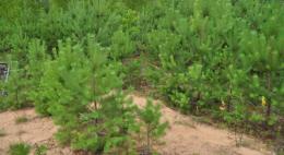 Псковская область перевыполнила план по искусственному лесовосстановлению в рамках нацпроекта «Экология»