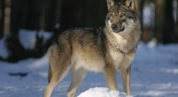 Для сообщений о волкахв Псковской областизаработала«Горячая линия»