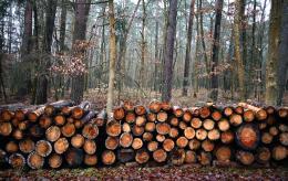 75 деревьев незаконно срубили в Псковском районе