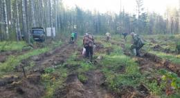 Около 7 тысяч елочек высадили в Печорском районе в рамках акции «Сохраним лес»