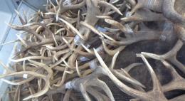 108 рогов благородного оленя и натуральную говяжью оболочку запретили к ввозу в Псковской области