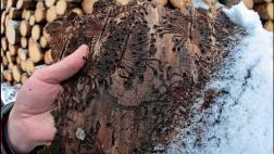 Псковский лес в в следующем году может пострадать от вершинного короеда