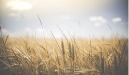 В Псковской области собран рекордный за десять лет урожай зерновых и зернобобовых культур