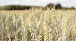 Ввоз 2 тонн пшеничной крупы запретил Россельхознадзор в Псковской области