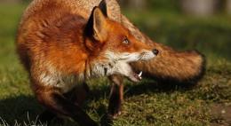 Из-за обнаружения лисы с вирусом бешенства в Себежском районе ветеринарами был введен карантин