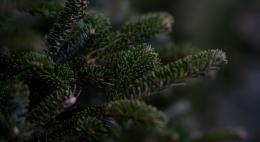 Специалисты Управления Россельхознадзора рассказали, как выбрать новогоднее дерево