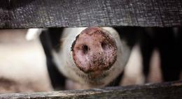 Карантин по африканской чуме свиней введён в Псковской области