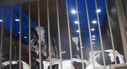 Факт транспортировки 42 телят без документов, без воды и корма выявили в Псковской области